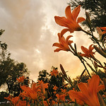 A cluster of flowers remain blooming under the sunset Tuesday evening at Kendrick Park. Smoke and haze from regional wild fires have contributed to warm colors of the sunset. The Sheridan Pr ...