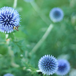 A bee lands on a flower in a Sheridan resident's front lawn garden Tuesday evening. The Sheridan Press|Justin Sheely.