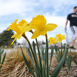A student walks past a bed of daffodils in bloom Tuesday afternoon outside the Sheridan College Whitney building. Justin Sheely/The Sheridan Press.