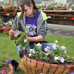 Kaija Nymeyer, 14, adds a pot of petunias into a hanging basket Saturday morning at the Sheridan College Green House.