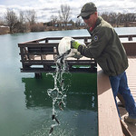 Courtesy photo | Meg MazeBrad Welch, Tillett Springs Rearing Station hatchery superintendent, empties a bucket of rainbow trout into Rotary Park Pond in Ranchester Wednesday, March 25, 2020.