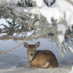 Justin Sheely | The Sheridan Press A young deer beds down on Brinton Road near Big Horn. The area received several inches of snow during a blizzard over the weekend.