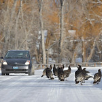 Justin Sheely | The Sheridan Press A flock of Turkeys walk up Brinton Road near Big Horn. The area received several inches of snow during a blizzard over the weekend.