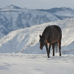 Justin Sheely | The Sheridan Press A horse stands on a hill overlooking the Bighorn Mountains Tuesday at a ranch near Big Horn. The area received several inches of snow during a blizzard ove ...