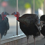 Justin Sheely | The Sheridan Press A turkey just cannot get enough of its reflection in a window on Gould Street in downtown Sheridan on Friday. The flock of turkeys have been frequenting th ...