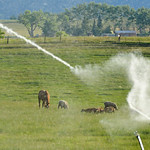 Justin Sheely | The Sheridan Press An irrigation sprinkler shoots water over a field off Beaver Creek Road west of Sheridan Wednesday night.