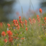 Justin Sheely | The Sheridan Press A cluster of the state's wildflower, Indian Paintbrush, is found along the path Thursday at the Red Grade Trail system near Big Horn. The trails are a 20 ...