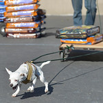 Justin Sheely | The Sheridan Press A chihuahua pulls a wagon with two bags of dog food during the fourth-annual Dog Weight Pull contest Saturday at Muddy Paw Prints Pet Supply.