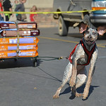 Justin Sheely | The Sheridan Press A dog pulls a wagon full of dog food weighing approximately 420-pounds during the fourth-annual Dog Weight Pull contest Saturday at Muddy Paw Prints Pet Su ...