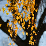 Justin Sheely | The Sheridan Press Yellow leaves are backlit by the morning sun Wednesday in downtown Sheridan.