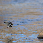 Justin Sheely | The Sheridan Press The American Dipper leaps from a rock in the Little Goose Creek during the Bighorn Audubon Society Birding at the Brinton Saturday in Big Horn.