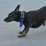Justin Sheely | The Sheridan Press A dog competes in the Oscar Mayer division race during the annual Wiener Dog Race at Black Tooth Brewing Company Tuesday, June 12, 2018. The event was host ...