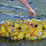 Justin Sheely | The Sheridan Press Rubber ducks are gathered from the Tongue River for the duck races during the 40th annual Dayton Days Saturday in the town of Dayton. The upper-ninety-degr ...