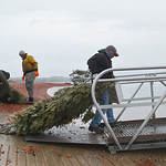 Justin Sheely | The Sheridan Press Volunteers drag trees to the dock at the staging area for building fish habitat Saturday morning at Lake De Smet. This is the fourth year the Wyoming Game  ...