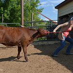 Justin Sheely | The Sheridan Press Fourteen-year-old Sadie Koltiska just cannot get cooperation from show calf Herra on Wednesday at the Koltiska farm west of Sheridan.