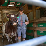 Justin Sheely | The Sheridan Press Paden Koltiska leads a show cow out of the stables on Wednesday at the Koltiska farm west of Sheridan.