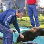 Ashleigh Fox | The Sheridan PressCharlie Bassett takes a turn petting a tranquilized black bear Friday, May 25, 2018. Bassett woke up to the bear rummaging through his garbage bins. His dog ...